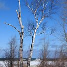 Winter Birch - Grindstone City, MI by Joy Fitzhorn