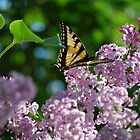 Swallowtail Enjoying the Evening Sun  by Diane Blastorah
