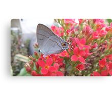 Butterfly feed nectar Canvas Print