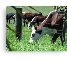 Brown and white cows grazing in the sun Canvas Print