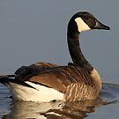 Canada Goose by Gregg Williams