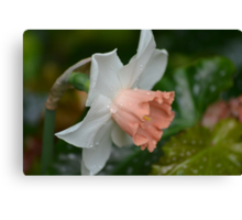 New Daffodils in the Conservatory Canvas Print