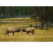 Elk Bulls Sparring Photographic Print