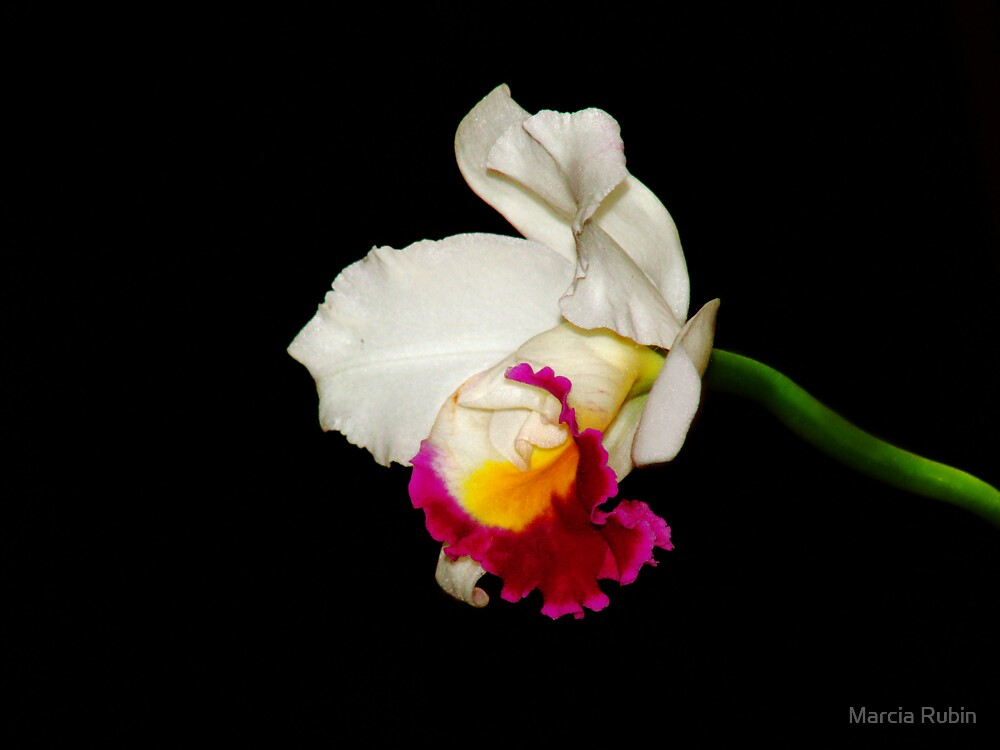 Orchid Collection - 1 by Marcia Rubin