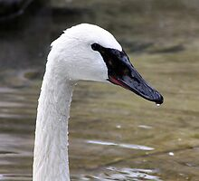 Trumpeter Swan by Alyce Taylor