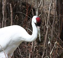 Whooping Crane by Alyce Taylor