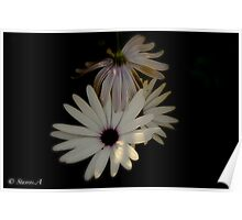 African Daisies (Margarita Africana) Poster