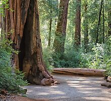 Big Basin Redwoods State Park by Yair Karelic