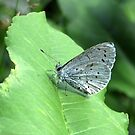 The Holly Blue by ienemien