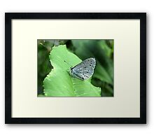 The Holly Blue Framed Print