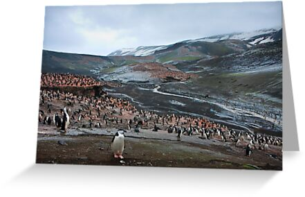 Chinstrap Penguin Colony Deception Island by Robert van Koesveld