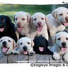 Labradore puppies by eagleyeimages