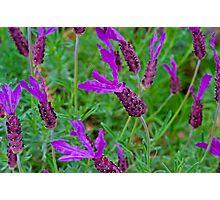 Lavender Delights Photographic Print