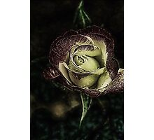 Enchanted Rose.... Photographic Print