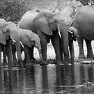Eliphant breeding herd thirst quenching by jozi1