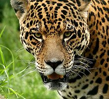 Jaguar Portrait by Mark Hughes
