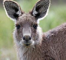 Australian Kangaroo by Christopher Meder Photography
