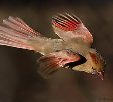 northern cardinal female by PixlPixi