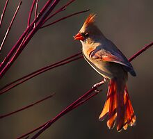 Female Northern Cardinal by PixlPixi