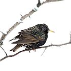 Hello Starling by Jim Cumming