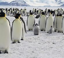Emperor Penguins at Snow Hill Island by chrisepting