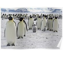 Emperor Penguins at Snow Hill Island Poster