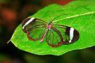 Glasswing With Open Wings by Jo Nijenhuis
