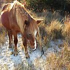 Golden Moment, Wild Horse, Assateague Island by Sandra Fazenbaker