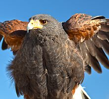 Harris Hawk Beauty by Judy Grant