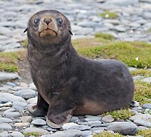 Got Fish??? (Antarctic Fur Seal Pup, South Georgia) by Krys Bailey