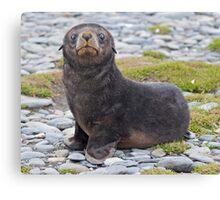 Got Fish??? (Antarctic Fur Seal Pup, South Georgia) Canvas Print