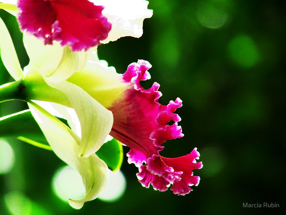 Orchid Collection - 3 by Marcia Rubin