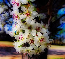 Bradford Pear Blossoms - HDR by Sanguine