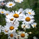 More and More Daisies by MarieFrance