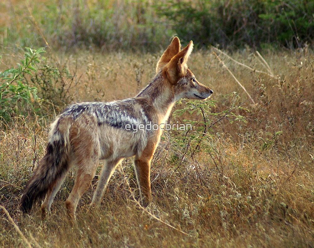 Black Backed Jackal on watch - Kruger National Park by eyedocbrian