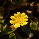 Lovely Celandine  by Mike  Waldron