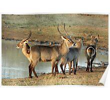 Waterbuck - Kruger National Park Poster