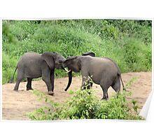 Young Bulls - Kruger National Park Poster