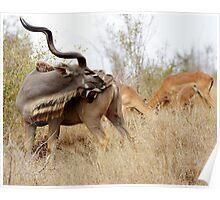 Kudu Bull - Kruger National Park Poster