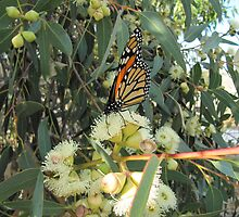 'SIPPING NECTAR'!  Monarch on Gum Blossom. by Rita Blom