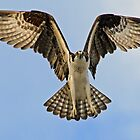 Osprey in flight up close! by jozi1