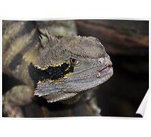 Australian Water Dragon (Physignathus lesueurii) Poster