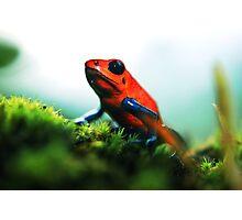 Strawberry Poison-Dart Frog Photographic Print