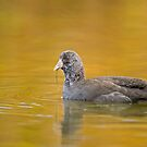 Feeding Juvenile Coot by Daniel  Parent
