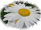 Oxeye Daisy, Queen of the Meadows Wildflower by MotherNature