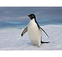 Adelie Penguin seeks Fame Photographic Print