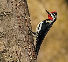 Yellow Bellied Sapsucker by Bill McMullen