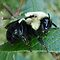 BUMBLE BEES AND CARPENTER BEES ONLY