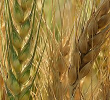 Wheat Crop by Mukesh Srivastava