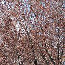 Cherry Blossoms by AmyAutumn